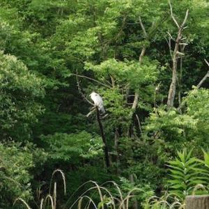 和田堀池のアオサギとラベンダー