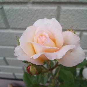 遅ればせながら薔薇開花☆