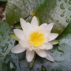 やっと待ったヒメスイレン開花