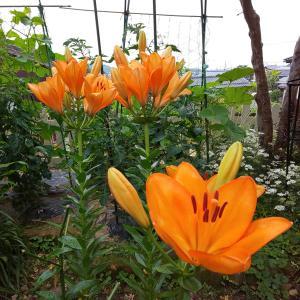 オレンジの百合 & 満開の紫陽花
