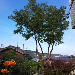 ヒメシャラの木 & 今日のウォーキング