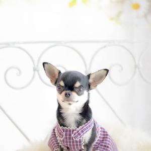 犬服のペアルック(ソーイングレッスン着画)