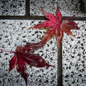 鑁阿寺の紅葉