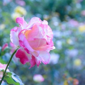 秋の薔薇を・・