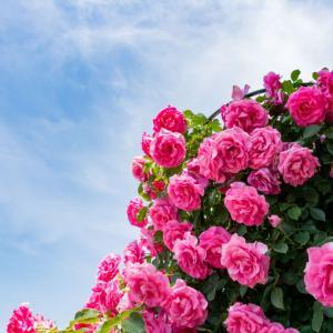 6月の薔薇 ~ 一年の振り返り