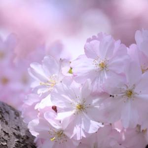 思川桜 ~ 昔の写真を出してますシリーズ