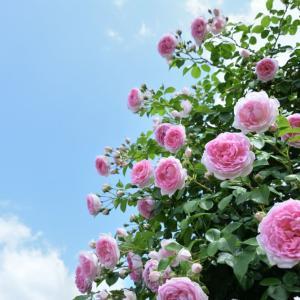 薔薇と青空 ~ 昔の写真を出していますシリーズ