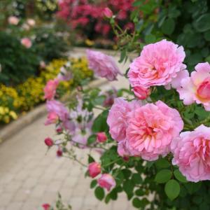 薔薇を撮った その2