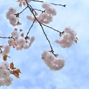八重桜は難しい その2