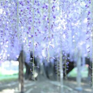 あしかがフラワーパーク藤の花 ~続き