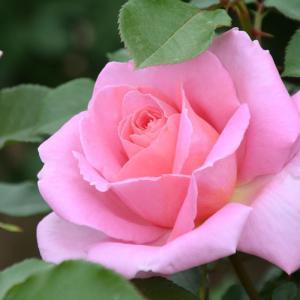 薔薇 咲きました