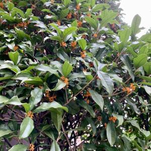 秋の街角☆金木犀の香り