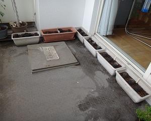 棉の種まき