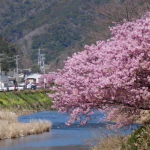 伊豆高原のさくら見頃です