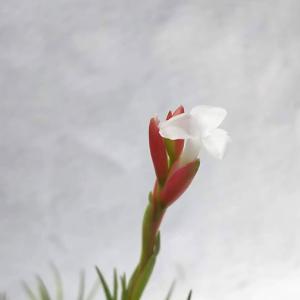 ココエンシス 開花! + イオナンタ・ロンの子株