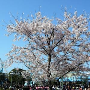 今年限りのTDRの桜の風景
