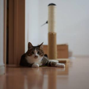 (猫858)げりげり飼い主と組みひもじゃらしのその後