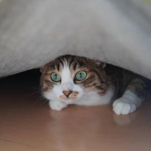 (猫866)財布を忘れた飼い主と絨毯にもぐるのが好きな愛猫と