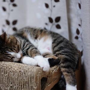 (猫875)捨て身で大上司の発言を録音することになりそうな飼い主とお腹ムシムシの愛猫と・・・