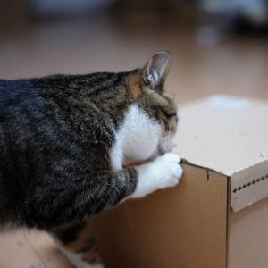 (猫877)あいかわらずゲーリーな飼い主と月一で箱に穴をあける愛猫と