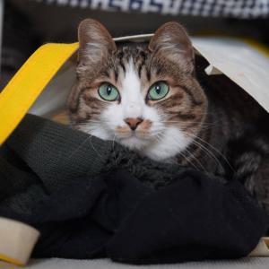 (猫958)NOといえる飼い主とやさしさという名の袋に包まれる愛猫と