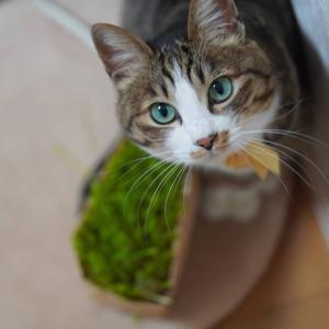 (猫959)あっという間の2月下旬と猫草刈りに定評のある愛猫と