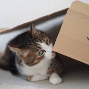 (猫998)地味な嘘をつく飼い主と箱の陰に忍ぶ愛猫と