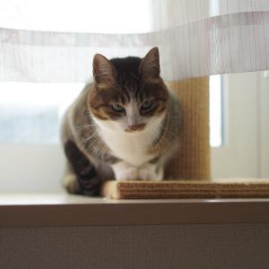 (猫1003)緊急事態宣言にorzってなる飼い主と画像がある愛猫と