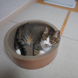 (猫1047)地域の情報誌の薄さに驚く飼い主とついに寝そうな愛猫と