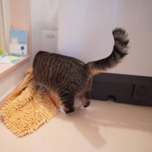 (猫1054)明日の花火が気になる飼い主と紐おっかけてずさーってなってる愛猫と