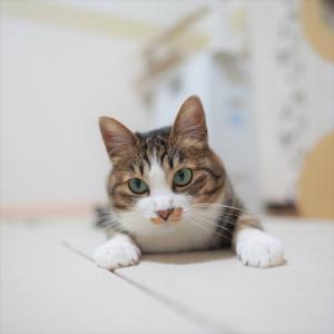 (猫1055)給付金の申請書に衝撃を受ける飼い主と匍匐前進もする愛猫と