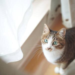 (猫1064)パンチ入れようとした飼い主と紐よりネズミが気になる愛猫と