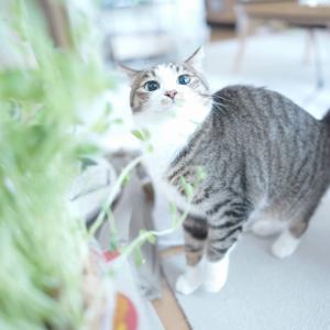 (猫1066)愛猫の採尿に挑戦の飼い主とと豆苗に襲い掛かる愛猫と
