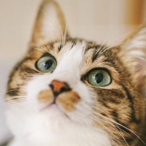 (猫1067)とらやん描いてもらったんず!とジャケットに住む愛猫と