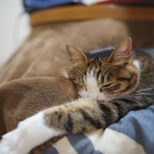 (猫1068)ソニーのカメラ講座復活を祈る飼い主と炬燵の上で伸びてる愛猫と