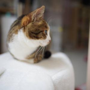(猫1070)ロイズの生チョコが半額な件とそっぽ向いてる愛猫と