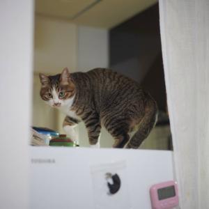 (猫1086)人来ないって言いだす小樽水族館と冷蔵庫の上に登る楽しみを覚えた愛猫と