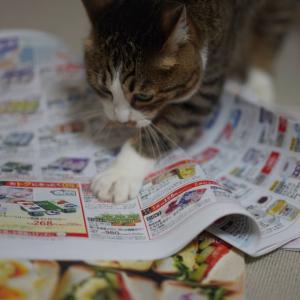 (猫1096)札幌行きを悩む飼い主と通販カタログをめくる愛猫と