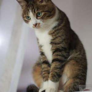 (猫1097)飲み会はセーフかアウトか悩む飼い主と冷蔵庫の上に登るのが趣味の愛猫と