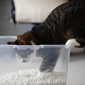 (猫1108)レジ袋有料化したねの飼い主と新しい砂をチェックする愛猫と