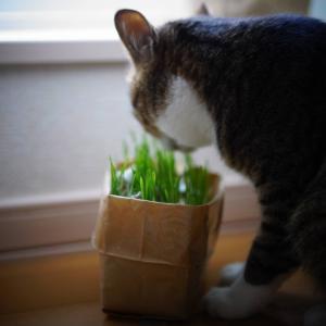 (猫1113)避難先を調べていない飼い主と草引っこ抜く愛猫と