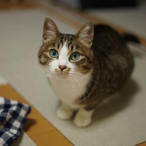 (猫1114)初・リモート飲み会の飼い主と途中から参加する愛猫と