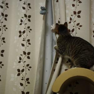 (猫1115)無観客配信も中心になってへこむ飼い主とカーテンめくる愛猫と