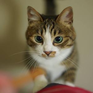 (猫1119)スープ腐らせる飼い主とおやつで爪切時を図られる愛猫