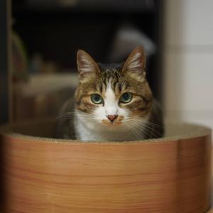 (猫1119)札幌のニャンコ先生を見に行きたい飼い主と蹴りぐるみに思いを馳せる愛猫と