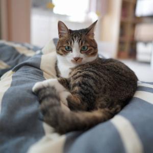 (猫1147)ティーポットを探す飼い主と布団占拠の愛猫と