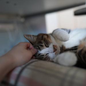 (猫1151)いるかいないかわからないお隣さんと椅子でグダグダの愛猫と