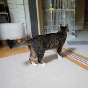 (猫1153)もらいげろ同盟と部屋闊歩の愛猫と