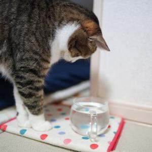 (猫1155)岩合さんの「こねこ」展が気になる飼い主と氷を見つめる愛猫と
