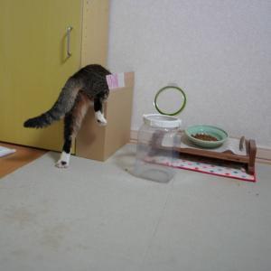 (猫1157)外装やぶけてもいいじゃない、人間だもry と段ボールに吸い込まれる愛猫と
